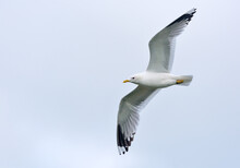 Adult Common Gull (Larus Canus) In Flight With Stretched Wings And Overcast Sky
