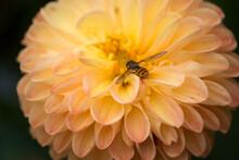 Closeup Of Hoverfly On Orange Dahlia In A Public Garden