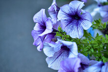 Multicolored Petunia Flowers Close-up In Summer