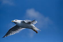 Isolated Mediterranean Seagull Audouin's Gull Mid Air