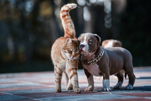 American Bully Puppy With Ginger Cat