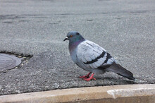 City Pigeon On The Sidewalk From Tiles Close-up. City Bird Pigeon Walking Along The Gray Paving Slab.