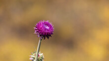 Close Up Shot Of Spiky Spear Thistle Wildflower