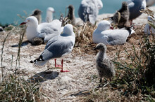 A Fluffy Young Red Billed Gull Chick Stands In The Nesting Colony With Adult Gulls Nesting In The Background.