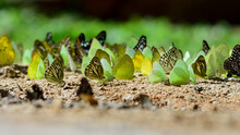 Butterflies Eating Salt-lick On Ground In The Nationailpark Of Thailand