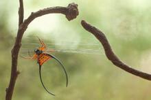 Macracantha, A Genus Of Asian Orb Weaver Spider