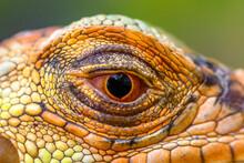 Close-up Of A Super Red Iguana's Eye, Indonesia