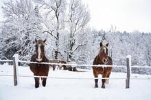 Two Horses In Snow. Jura, France. Winter Fairy Tale.