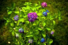 Verbena Flowers In The Garden