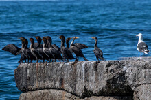 Seagull Standing Next To A Row Of Cormorants On A Coastal Rock, Canada