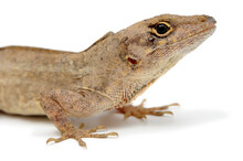 Cuban Brown Anole (Anolis Sagrei) On A White Background