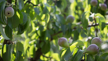 Serene View Of Fresh Pears Growing On The Branches Of A Tree In Sunlight