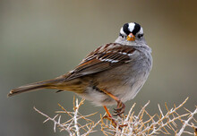 Closeup Of A White-crowned Sparrow Perching On Twigs