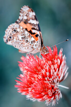 Vertical Closeup Of Vanessa Cardui, Commonly Called The Painted Lady.