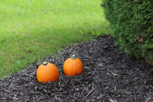 Two Pumpkins In A Front Lawn