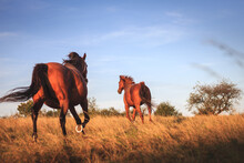 Horse On Pasture. Two Thoroughbred Horses Running On Meadow. Animal Outdoors