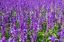 Purple Wildflowers. Background From Purple Meadow Flowers. Sage. Lavender.