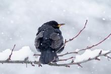 Common Blackbird (Turdus Merula) On A Frosted Tree.