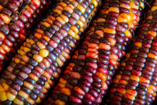 Multi Colored Indian Corn In The Detail