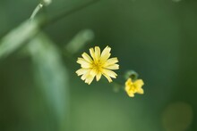 Flower Of A Common Nipplewort, Lapsana Communis