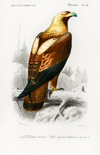 Eastern Imperial Eagle (Aquila Heliaca) Illustrated By Charles Dessalines D' Orbigny (1806-1876). Digitally Enhanced From Our Own 1892 Edition Of Dictionnaire Universel D'histoire Naturelle.