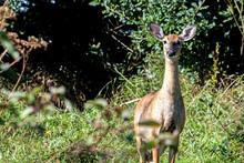 White Tailed Deer On Alert