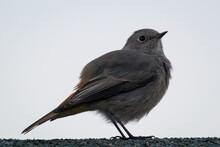 Ein Hausrotschwanz Sitzt Auf Einem Dach. Ein Singvogelportrait.