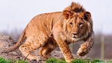 Lion Stalking Prey In The Bush In Summer, India
