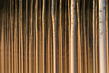 Spain, Rows Of Silver Poplar