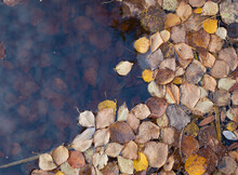 Fallen Leaves On The Water. The Concept Of The Coming Autumn Is The Renewal Of Nature.