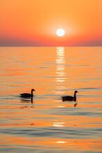 USA, Illinois, Chicago, Lake Michigan, Canada Geese At Sunrise