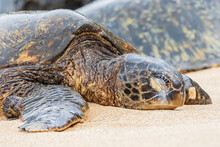 Portrait Of Green Sea Turtle On The Beach, Ho'okipa Beach Park, Hawaii, USA