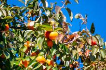 Persimmons Fruit Tree With Ripe Sweet Orange Fruits