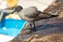 The Lava Gull, Dusky Gull (Leucophaeus Fuliginosus).