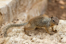 Rock Squirrel  Paused On Rock Outcrop