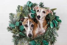 Close-up Of Dogs With Green Christmas Wreath Against White Background