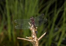 Close Up Of Large White Faced Darter (Leucorrhinia Pectoralis) Dragonfly