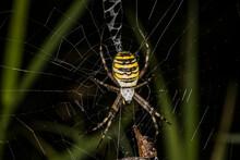 Wasp Spider (Argiope Bruennichi) Hanging On Spider Web