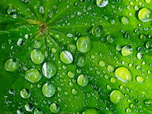 Green Leaf Covered In Raindrops