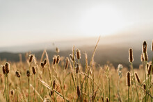 Close-up Of Dry Cattail Plants Against Sky During Sunset