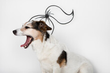 Portrait Of Yawning Mongrel With Drawn Ponytail In Front Of White Background