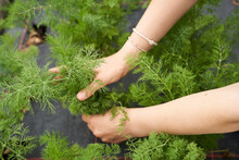 Girl Picking Dill In A Green House, Close Up Of Hands