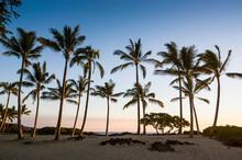 USA, Hawaii, Big Island, Palm Grove At Sunset At The Beach Of Kikaua Point Park