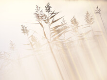 Silhouettes Of Reeds Back Lit By Sunlight
