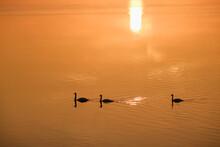 Germany, Bavaria, Mute Swans On Ismaning Reservoir, Sunrise