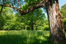 Germany, Upper Bavaria, Munich, Old Trees And Grassy Field In Englischer Garten