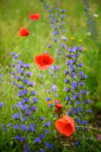 Poppies (Papaver Rhoeas) And Vipers Buglosses (Echium Vulgare) Blooming In Meadow