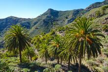 Spain, Province Of Santa Cruz De Tenerife, Date Palms (Phoenix Canariensis) Growing In Green Valley Of La Gomera Island