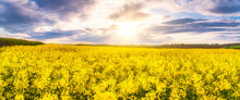 Panoramic View Of Rape Field Against The Sun, East Lothian, Scotland