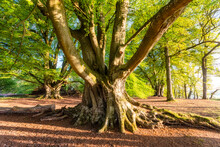 Old Tree, Perth, Scotland